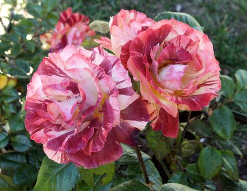 2017-rosas-concurso-14