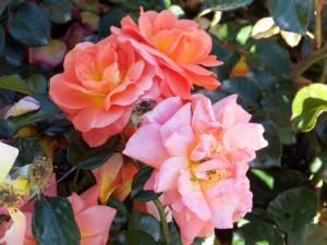 2017-rosas-concurso-19