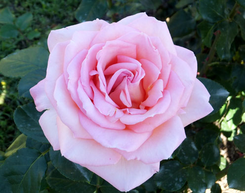 2017-rosas-concurso-4