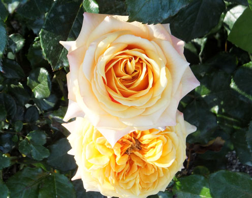 2017-rosas-concurso-8